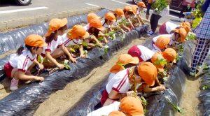 芋の栽培 食育