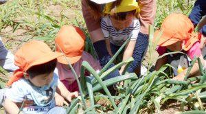 ねぎの収穫